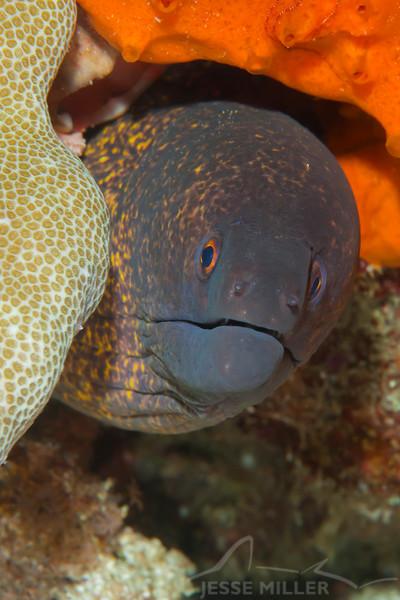 Yellowmargin Moray Eel - Entre 2 Mers II - Dive #3 of 41