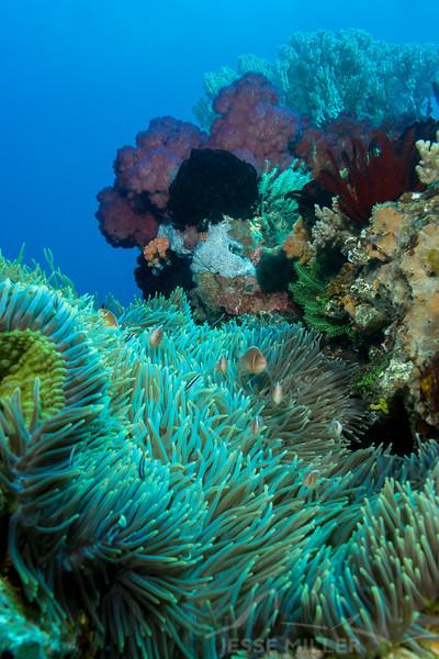 Pink Anemonefish - Batu Tetek - Dive #15 of 41