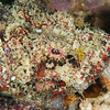 Flasher Scorpionfish - Shallow Paradise - Dive #1 of 41