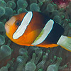 Clrak's Anemonefish - Jenad Side - Dive #38 of 41