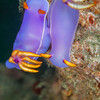 Bullock's Hypselodoris Nudibranch - Teku Rock - Dive #32 of 41