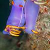 Bullock's Hypselodoris Nudibranch - Teku Rock - Dive #32 of 41