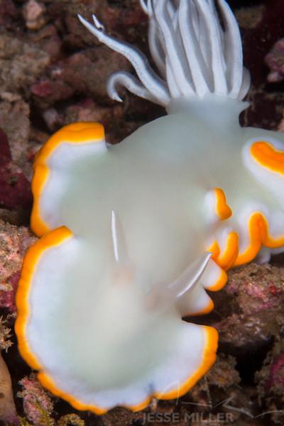 Heron Ardeadoris Nudibranch - Mbelang - Dive #13 of 41