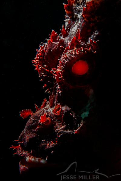 *Tasseled Scorpionfish (Strobe Behind Fish) - Smile Point - Dive #10 of 41