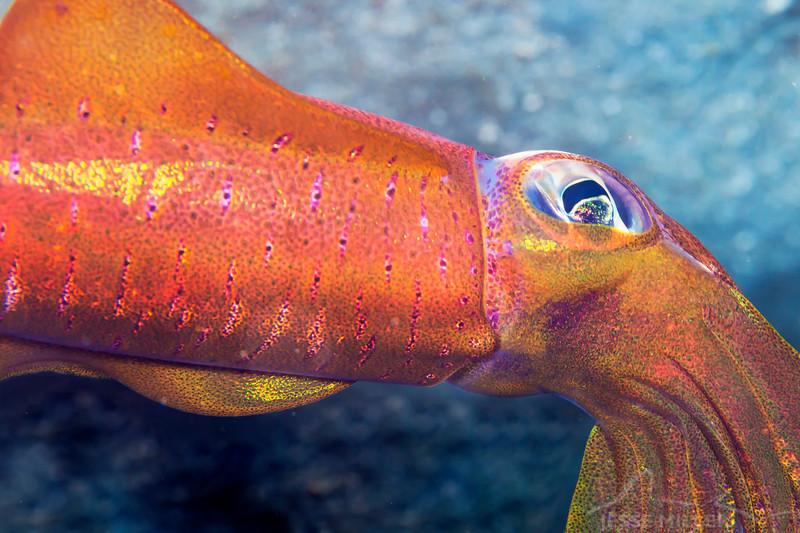 Flying Squid - Mbelang - Dive #33 of 41