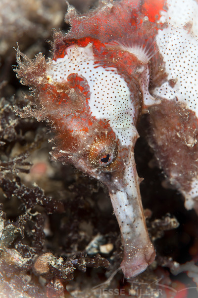 Great Seahorse - Pulau Dua Reef - Dive #41 of 41