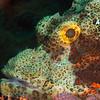 Tasseled Scorpionfish - Solan Reef - Dive #31 of 41