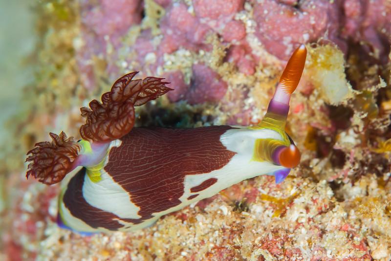 Chamberlain's Nembrotha Nudibranch - Entre 2 MERS II - Dive #22 of 41