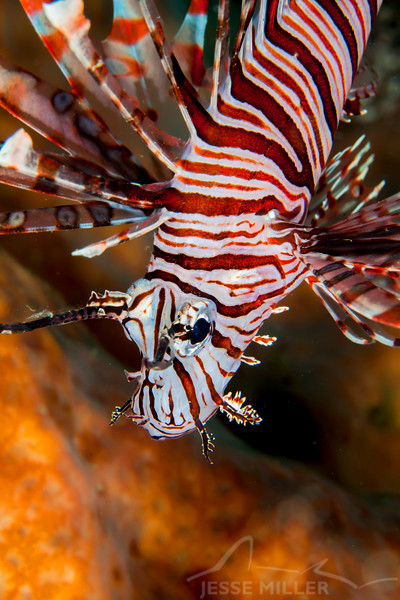 Red Lionfish - Solan Reef - Dive #5 of 41