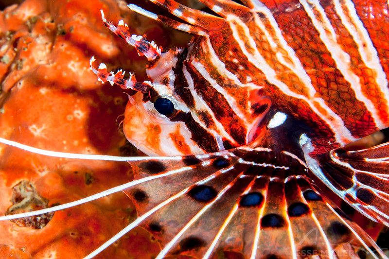 Spotfin Lionfish - Entre 2 Mers II - Dive #3 of 41