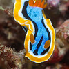 Anna's Chromodoris Nudibranch - Smile Point - Dive #10 of 41