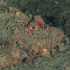 *Spiny Devilfish Scorpionfish - Pulau Dua Reef - Dive #17 of 41