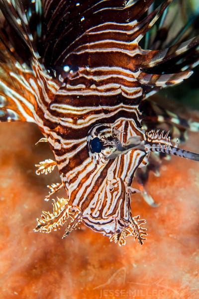 Red Lionfish - Mbelang - Dive #40 of 41