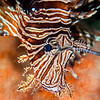 Red Lionfish - Mbelang - Dive #40 of 41