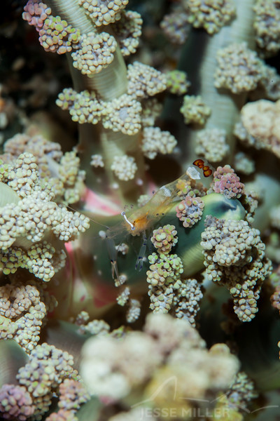 Magnificent Anemone Shrimp - Pulau Dua Reef - Dive #25 of 41