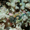 Magnificent Anemone Shrimp - Pulau Dua Reef - Dive #25 of 41