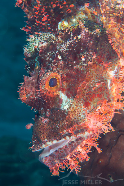 Tasseled Scorpionfish - Smile Point - Dive #10 of 41