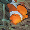 Clown Anemonefish - Entre 2 MERS II - Dive #22 of 41
