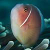 Pink Anemonefish - Entre 2 Mers III - Dive #2 of 41