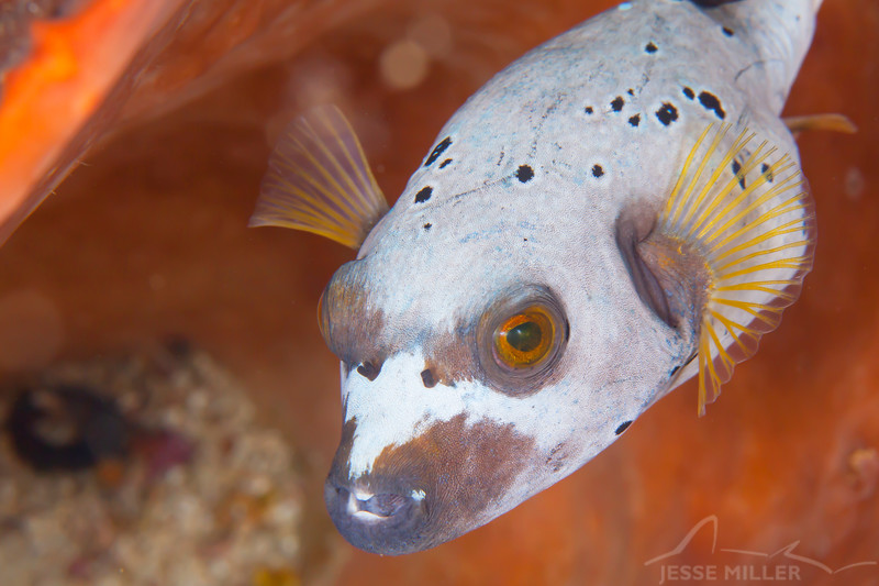 Blackspotted Puffer - Entre 2 MERS III - Dive #26 of 41