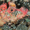 Spiny Devilfish Scorpionfish - Pulau Dua - Dive #41 of 41