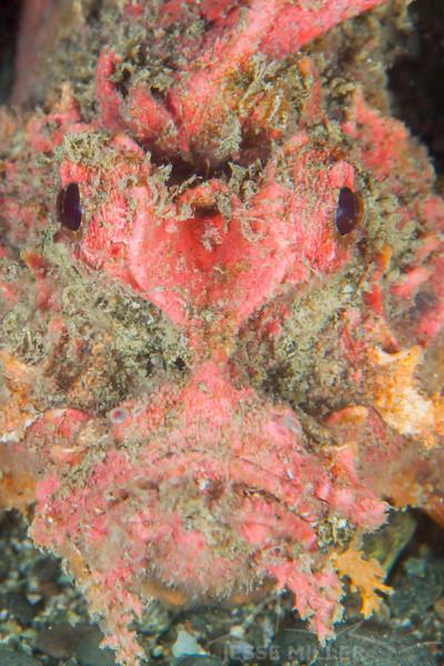 Spiny Devilfish Scorpionfish - Tompotika Reef - Dive #18 of 41