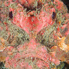 Spiny Devilfish Scorpionfish - Tompotika Reef - Dive #18 of 41