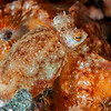 Long Arm Octopus - Pulau Dua Reef - Dive #25 of 41