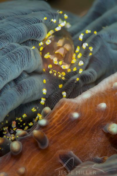 Hidden Corallimorph Shrimp - Teku Rock - Dive #32 of 41