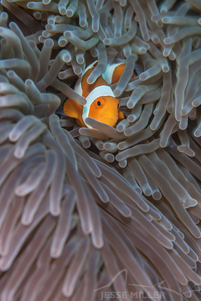 Clown Anemonefish - Entre 2 Mers III - Dive #2 of 41
