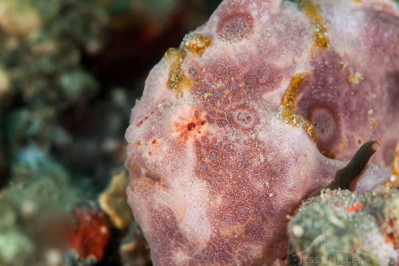 Painted Frogfish - Pulau Dua Reef - Dive #6 of 41