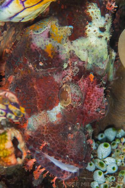 Tasseled Scorpionfish - Entre 2 MERS III - Dive #26 of 41