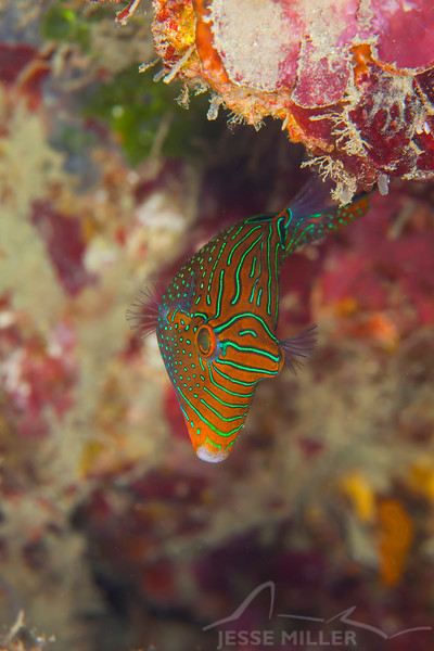 Papuan Toby - Smile Point - Dive #21 of 41