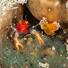 Unknown Squat Lobster - Mbelang - Dive #33 of 41