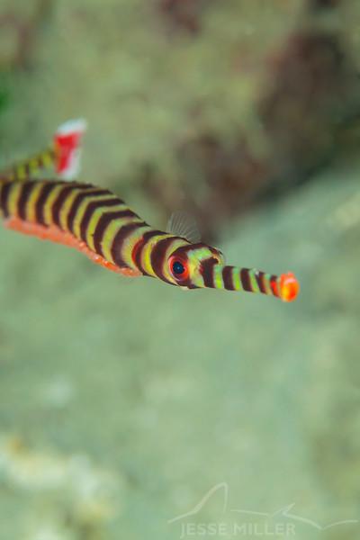 Naia Pipefish on Eggs - Pulau Dua Reef - Dive #17 of 41