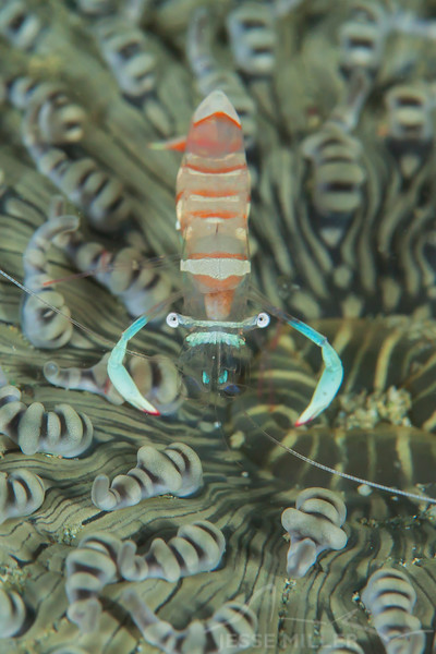 Magnificent Anemone Shrimp - Tompotika Reef - Dive #18 of 41