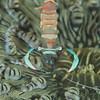Magnificent Anemone Shrimp - Tompotika Reef - Dive #18 of 41