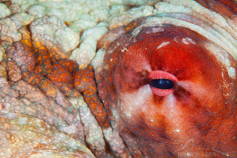 Day Octopus - Mayumi Wall - Dive #11 of 41