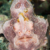 Painted Frogfish - Pulau Dua Reef - Dive #6 of 41