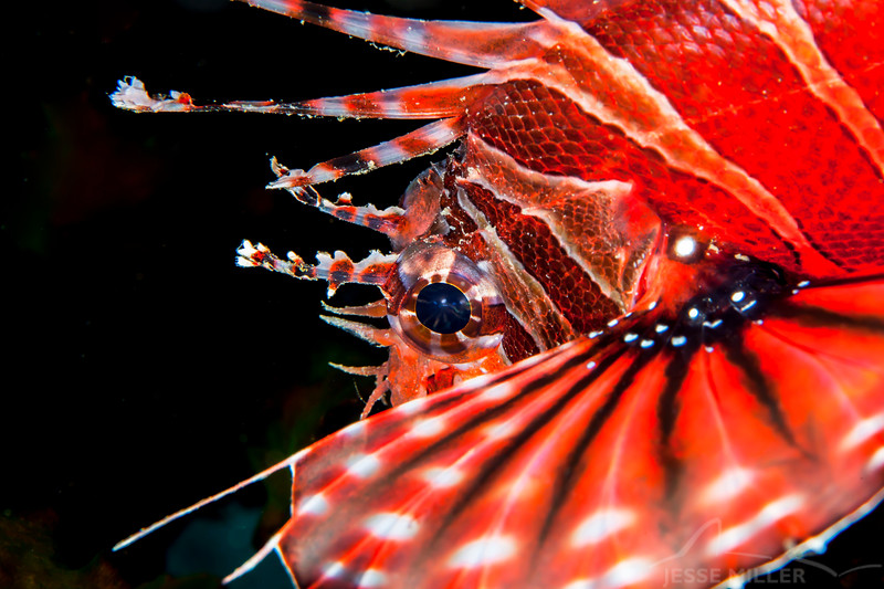 Spotfin Lionfish - Shallow Paradise - Dive #1 of 41