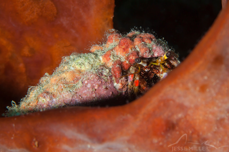 Dark Knee Hermit Crab - Smile Point - Dive #10 of 41