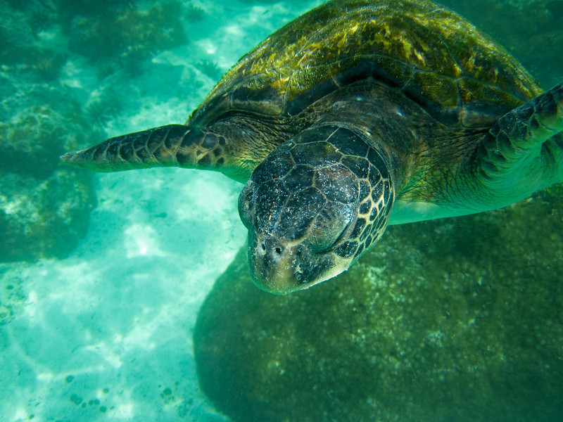 A large marine sea turtle (chelonia mydas) swimming in a lagoon in the Galapagos Islands of Ecuador.