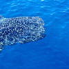 Whale Shark. Ningaloo reef