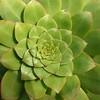 Cactus Mandala