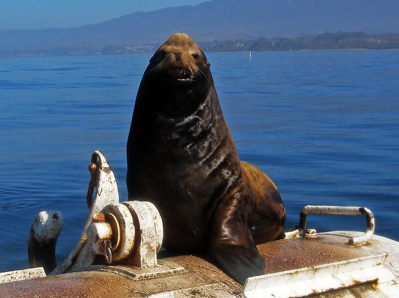 Big Boy Sealion in Santa Barbara Channel