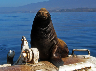 Big Boy Sealion in Santa Barbara Channel