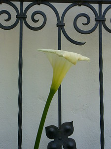 Iron Lilly