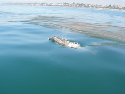 Dolphin breathe, costal Santa Barbara, CA