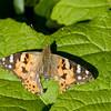 """Massa's distelvlinders, maar wel allemaal """"wreed"""" gehavend, flets van kleur en grotere of kleinere stukken uit hun vleugels -- maar toch nog rap vliegen...ge moet het maar doen"""