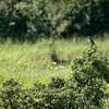 vrouwtje grauwe klauwier
